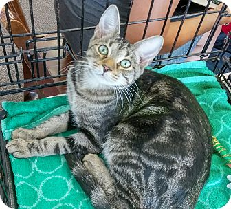Domestic Shorthair Kitten for adoption in Columbus, Ohio - Sloan