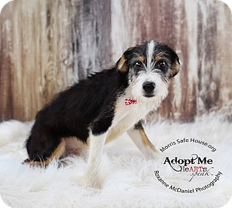 Border Collie/Schnauzer (Miniature) Mix Puppy for adoption in Lubbock, Texas - Gibbs