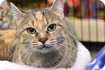 Domestic Shorthair Cat for adoption in Chicago, Illinois - Girlfriend