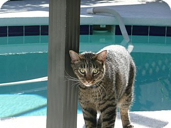 Domestic Shorthair Cat for adoption in Lakeland, Florida - acha