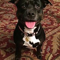 Adopt A Pet :: Piper-Seniors for Seniors! - Lincoln, CA