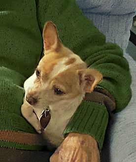 Jack Russell Terrier/Chihuahua Mix Dog for adoption in Redondo Beach, California - Chico is loving & well behaved