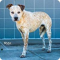 Adopt A Pet :: Rex - Dallas, TX