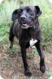 Labrador Retriever Mix Dog for adoption in Westminster, Colorado - Bella