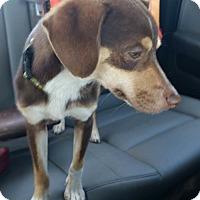 Adopt A Pet :: Conan - Mount Pleasant, SC