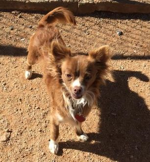 Chihuahua Mix Dog for adoption in Las Cruces, New Mexico - Babs