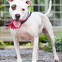 Pit Bull Terrier Dog for adoption in Columbus, Ohio - Ruthie