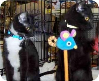 Domestic Shorthair Kitten for adoption in Overland Park, Kansas - Bob & Billy