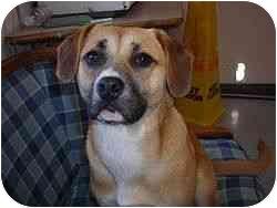 Labrador Retriever/Beagle Mix Puppy for adoption in Berkeley, California - Daisy Mae