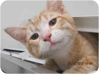 Domestic Shorthair Kitten for adoption in Los Angeles, California - Tracy