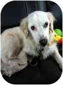 Border Collie Dog for adoption in Bloomsburg, Pennsylvania - Freckles