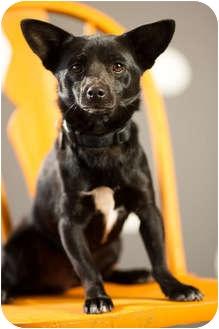 Chihuahua/Corgi Mix Dog for adoption in Portland, Oregon - Blackie