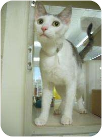 Domestic Shorthair Cat for adoption in North Charleston, South Carolina - Rylie