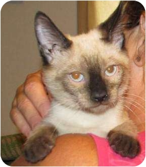 Siamese Kitten for adoption in Muskogee, Oklahoma - fred