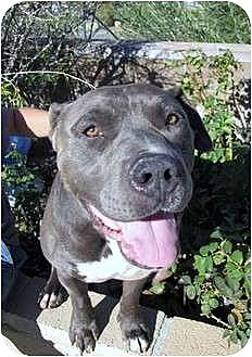 American Staffordshire Terrier/American Pit Bull Terrier Mix Dog for adoption in Bellflower, California - Louie
