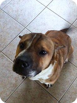 American Bulldog/Terrier (Unknown Type, Medium) Mix Dog for adoption in Baton Rouge, Louisiana - Smitty