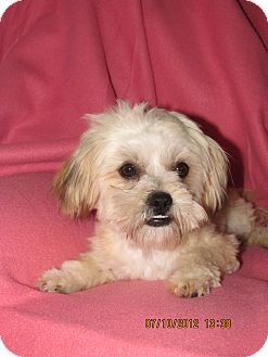Maltese Mix Dog for adoption in Palestine, Illinois - Muffin