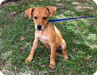 Shepherd (Unknown Type)/Hound (Unknown Type) Mix Puppy for adoption in Houston, Texas - Tom