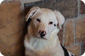 Australian Shepherd Mix Puppy for adoption in Russellville, Kentucky - Darby