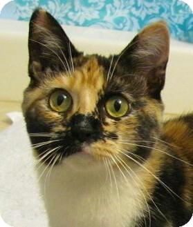 Domestic Shorthair Cat for adoption in Covington, Kentucky - Meghan
