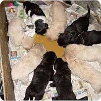 Adopt A Pet :: Howlite (Black & White) - Denver, CO