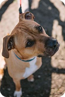 Boxer/American Staffordshire Terrier Mix Dog for adoption in Hazel Park, Michigan - Tanner