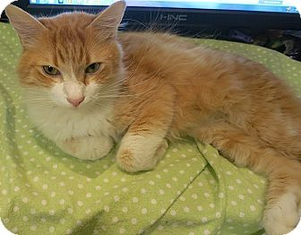 Domestic Longhair Kitten for adoption in Tampa, Florida - Willy Wonka