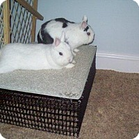 Adopt A Pet :: Nibbles - Maple Shade, NJ