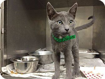 Russian Blue Kitten for adoption in Los Angeles, California - Dudley