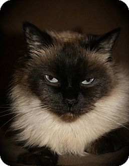 Siamese Cat for adoption in Hamilton., Ontario - willow