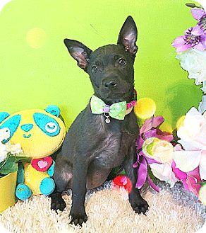 Labrador Retriever Mix Puppy for adoption in Castro Valley, California - Gina