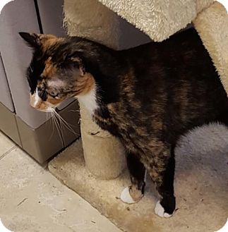 Domestic Mediumhair Cat for adoption in New York, New York - Pocono (aka Destiny)