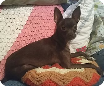 Chihuahua Mix Dog for adoption in Bellflower, California - Piper