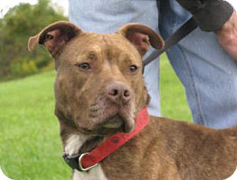 Pit Bull Terrier Dog for adoption in Tyrone, Pennsylvania - Tina