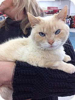 Siamese Cat for adoption in Sterling Hgts, Michigan - Cayman  lap kitty