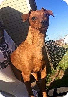 Dachshund/Chihuahua Mix Dog for adoption in Fort Valley, Georgia - Poca