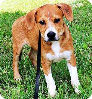Beagle/Hound (Unknown Type) Mix Puppy for adoption in Goodlettsville, Tennessee - Badger