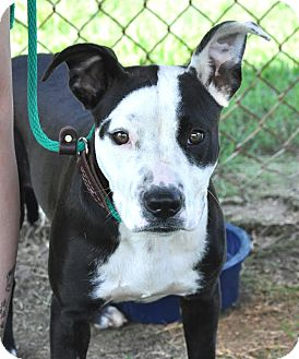 American Pit Bull Terrier Mix Dog for adoption in Colonial Heights, Virginia - Camry
