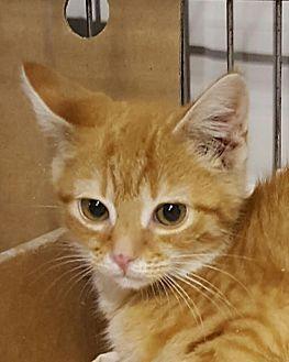 Domestic Shorthair Cat for adoption in Owenboro, Kentucky - GARFIELD!