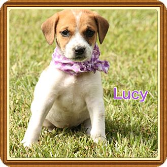 Feist Mix Puppy for adoption in Brattleboro, Vermont - Lucy