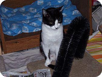 American Shorthair Cat for adoption in Columbus, Ohio - Cassie - COURTESY POST