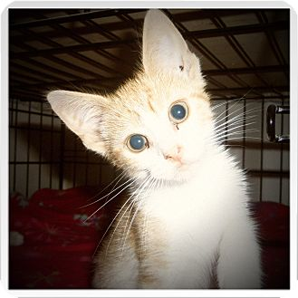 Domestic Shorthair Cat for adoption in Medford, Wisconsin - FERRIS