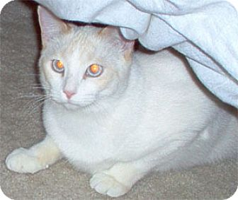 Domestic Shorthair Cat for adoption in Garland, Texas - Alister