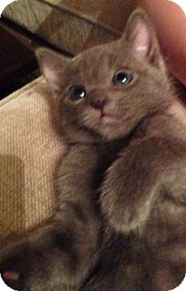 Russian Blue Kitten for adoption in Los Angeles, California - Albert