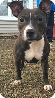 American Pit Bull Terrier Mix Dog for adoption in Trenton, New Jersey - Cindy Loo Hoo