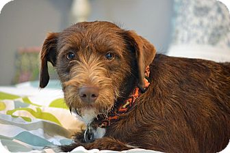 Schnauzer (Standard)/Mountain Cur Mix Dog for adoption in Hagerstown, Maryland - Rusty