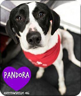 Pointer/Labrador Retriever Mix Dog for adoption in South Plainfield, New Jersey - Pandora