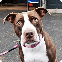 American Staffordshire Terrier Mix Dog for adoption in Glastonbury, Connecticut - Mae ~ meet me!