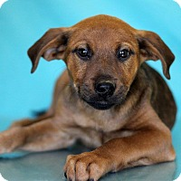 Adopt A Pet :: Corey - Waldorf, MD