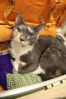Domestic Shorthair/Domestic Shorthair Mix Cat for adoption in Fairfax Station, Virginia - Bella